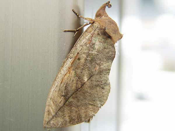 http://www.jpmoth.org/Noctuidae/Calpinae/A8Eudocima_tyrannus.jpg