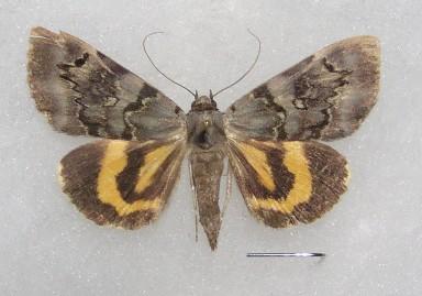 ナマリキシタバ Catocala columbina ...