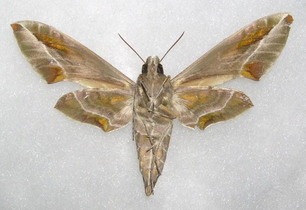 キョウチクトウの画像 p1_25